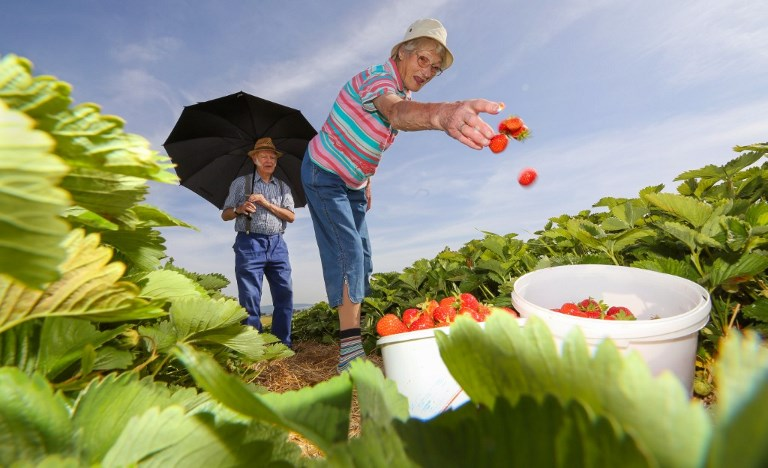 Strawberry harvest with parasol